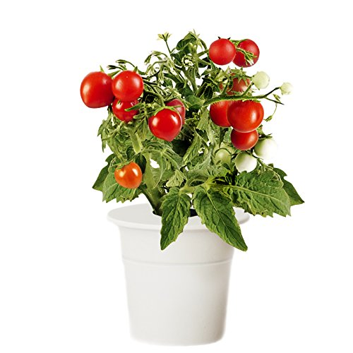 click and grow tomato review